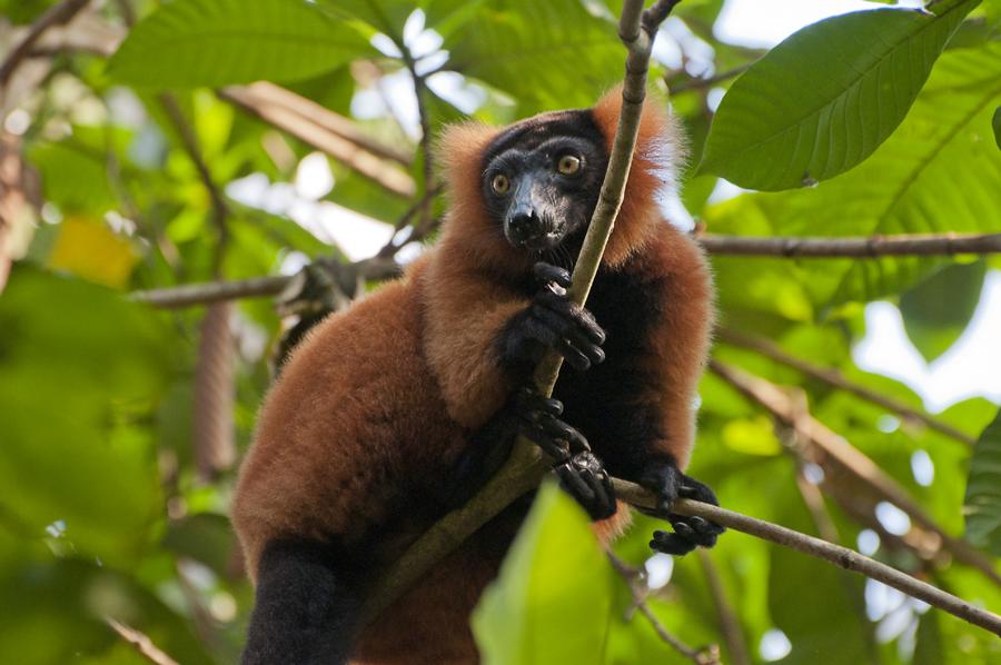 roter Vari, Varecia rubra, Lemuren
