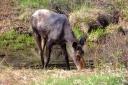 Moose in Canada