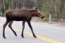 Moose crossing the road