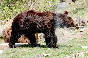 Bär hat sich gerade ein kühles Bad gegönnt.