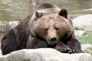 Ein Bär gönnt sich ein Nickerchen