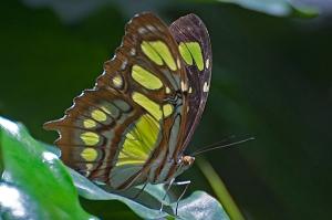 Dieser Malachit Schmetterling besticht mit seinen Farben