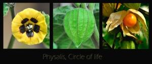 Die Physalis peruviana ist ein Beerenstrauch aus Südamerika