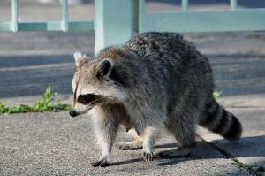 Eine Raccoon Mama auf Futtersuche