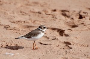 A ringed plover at the beach in Prince Eduard Island