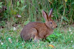 Das ist ein Snoeshoe Hare in Eastern Canada. Zur Zeit trägt er das braune Sommerkleid. Im Winter wird er dann wieder weiss wie Schnee.