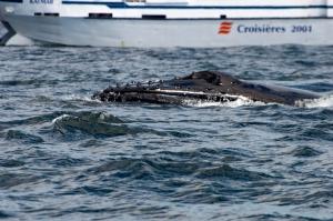 Wal, nahe am Boot