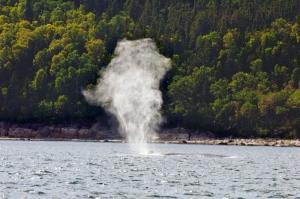 Blas eines Blauwals im St. Lawrence River, Province Quebec, Canada