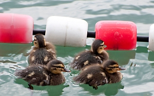 Duck chicks try to follow Mama.
