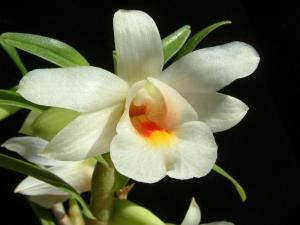 Dendrobium fürstenbergianum