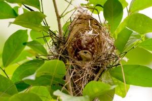 Madagaskar-Weber-Nest