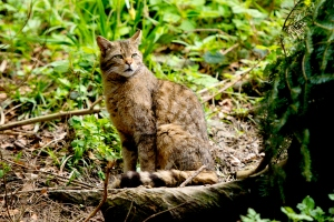 Europaeische-Wildkatze