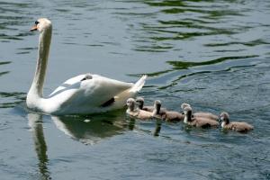 Swan-family_1