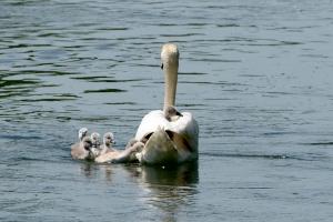 Swan-family_2