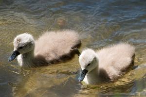 Swan-family_3