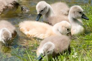 Swan-family_4