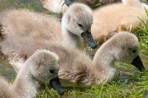 Swan-family_5