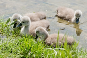 Swan-family_6