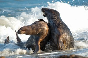 Seals's-love_02