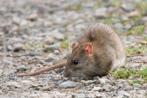 Ratte_01