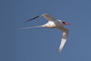 rotschnabel-tropikvogel_04