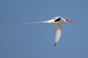 rotschnabel-tropikvogel_05